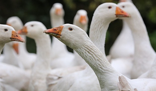 This Year Sees An Increase In Demand For Goose For Christmas Dinner