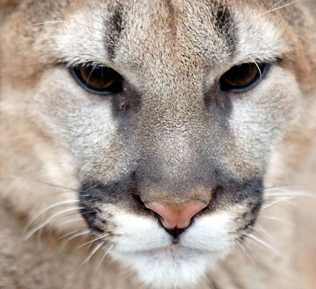 Mountain Lion Walks Grounds Of Cincinnati Zoo And Botanical Garden